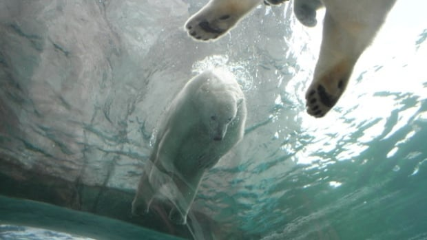 Enza Bell captured this photograph of polar bears swimming in the underwater tunnel at the Assiniboine Park Zoo's Journey to Churchill exhibit on Tuesday, just days before the tunnel was closed for repairs.