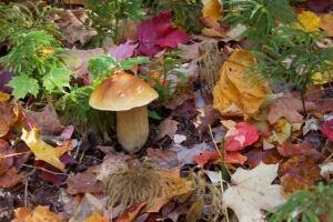 Porcini mushroom in Algonquin Park Ontario
