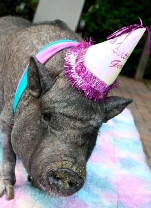 Ernestine, the world's oldest pig