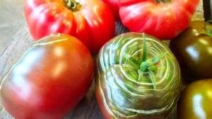 Cherokee Tomato X Hybrid