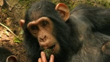 Wild chimps learn from others to make new tools