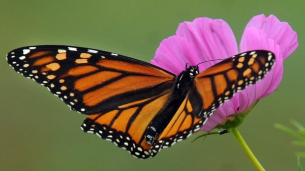 Monarch butterfly watchers are concerned that a cold snap in Mexico may have had disastrous results on the migrating insects.
