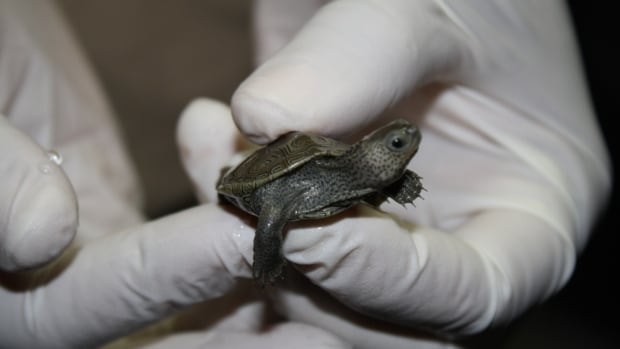 One of 750 Diamondback terrrapin turtles seized by US authorities at the Detroit Metropolitan Airport.
