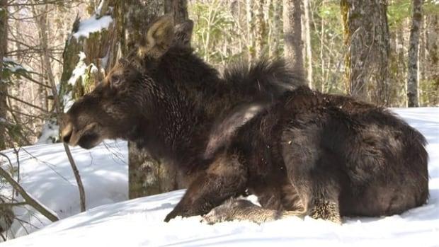 Moose winter ticks