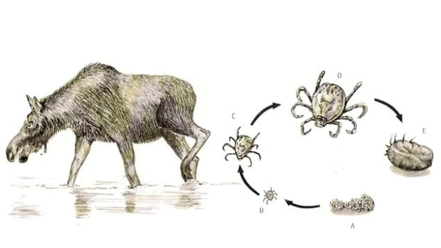 Life cycle of a winter tick