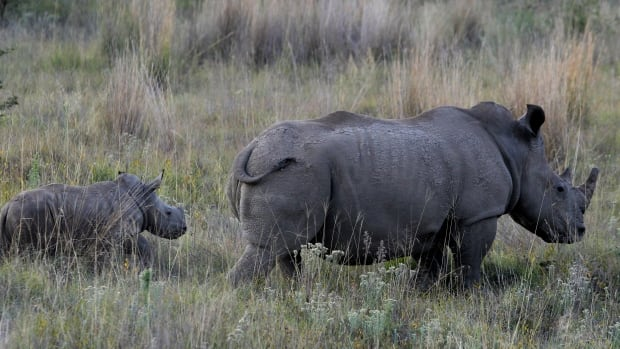 A white rhino and her calf walk in the dusk light in Pilanesberg National Park in South Africa in 2012. More than 1,000 rhinos were killed by poachers in South Africa last year.