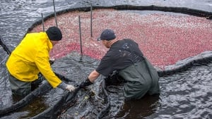 Collecting cranberries