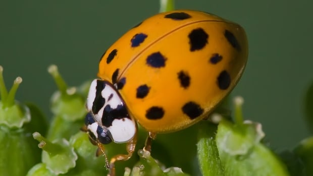The Asian lady beetle is slightly larger and more dome-shaped than a typical North American ladybug. They are usually red or orange.