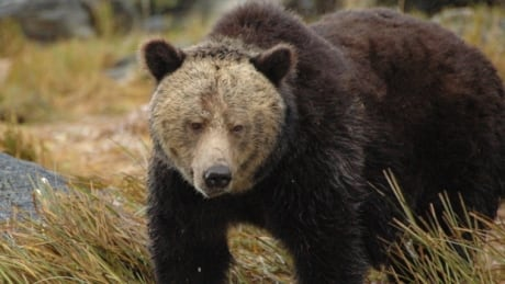 Banff trick-or-treaters warned to carry bear spray after grizzly sighting