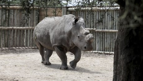 Northern white rhino named Suni