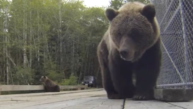 The GoPro camera has caught the attention of one of the grizzly bears.