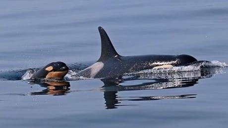 Orca calf L120 presumed dead
