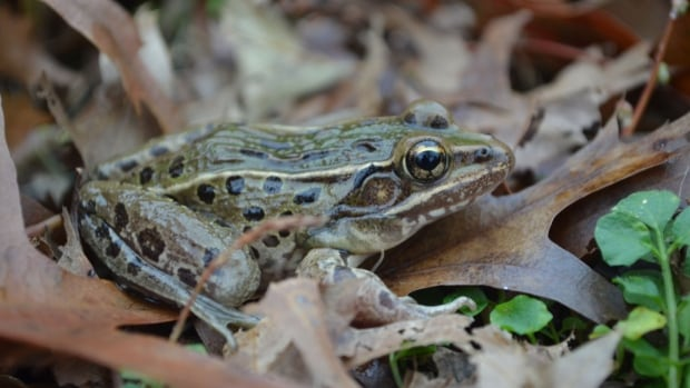 The Atlantic Coast leopard frog, which has been given the scientific name Rana kauffeldi, is the first new species of amphibian to be found in New York or New England since 1882.