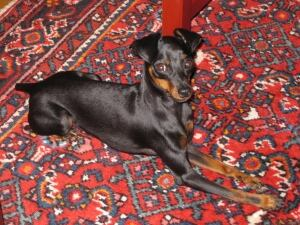 Miniature Pinscher killed by Pit Bull