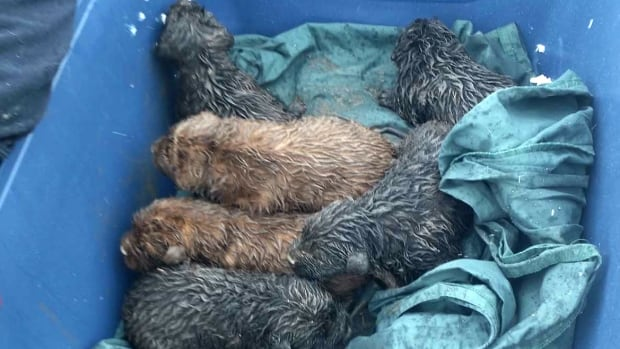 Puppies rescued by AARCS from a dump south of the city.