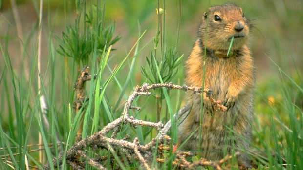 A female Arctic ground squirrel bulks up for winter. High levels of male hormones called androgens allow both males and females to increase their muscle mass 30 per cent within weeks.