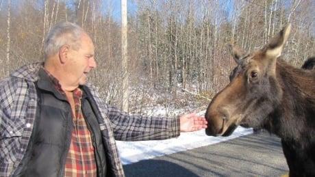 Friendly moose put down by wildlife officer in Tweedside, NB - CBC.ca