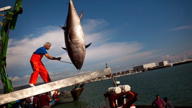 An Atlantic bluefin tuna is lifted by a crane during the opening of the season for tuna fishing in the port of Barbate, Cadiz province, southern Spain.