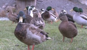 Ducks invading Burin Peninsula