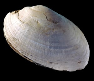 Shell engraving discovery