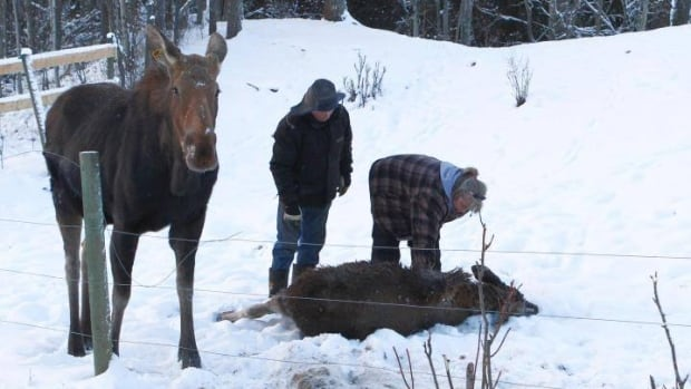 Angelika Langen comforts a moose calf that she helped free from a wire fence. The calf's mother stands calmly by.