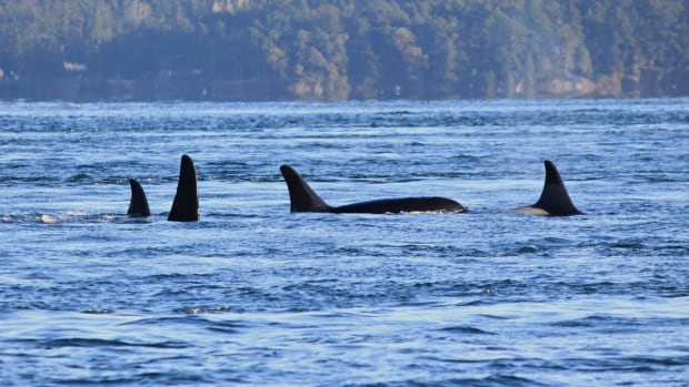 Killer whale J-32 swims with her pod. She was found dead on Thursday.