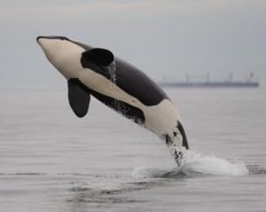 J-32 orca whale