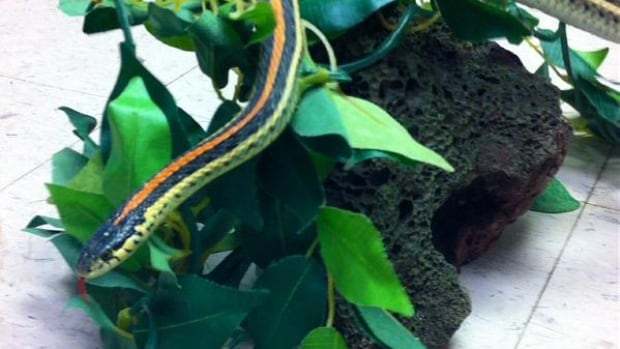Police in Saskatoon named the garter snake 'Outlaw.'
