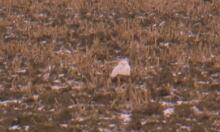 Snowy owl Ottawa field wide open space Dec 8 2014