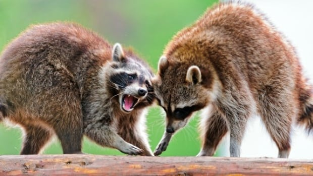 Police say they received a call about an angry raccoon in the Sherboune Street and Howard Street area.