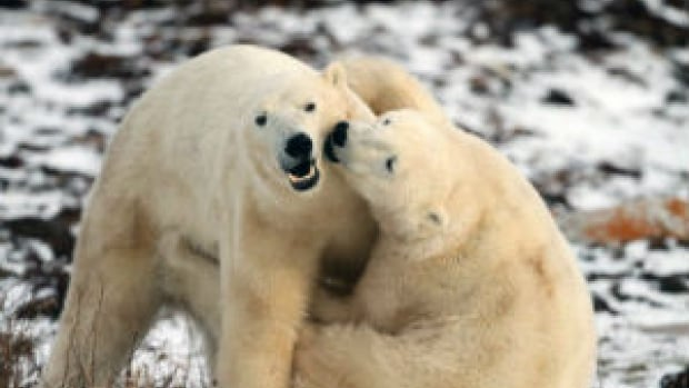 A study by the U.S. Geological Survey says shooting polar bears with tranquillizer darts, handling them and fitting them with radio collars doesn't appear to have any effect on body condition, reproduction or cub survival.