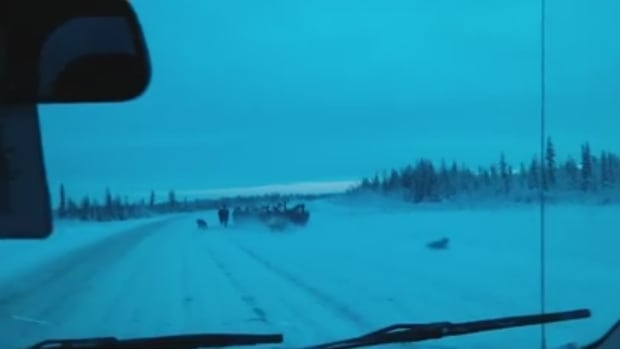 In a video shot from a moving car in the N.W.T., three wolves scatter from a herd of bison as the car approaches.