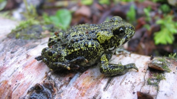 The western toad is listed as a species of special concern.