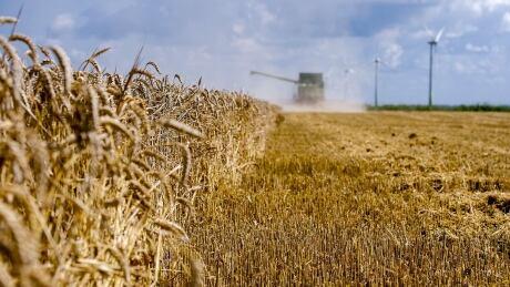 Wheat field in Swiftebrant, The Netherlands