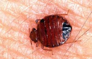 NYC Bedbugs