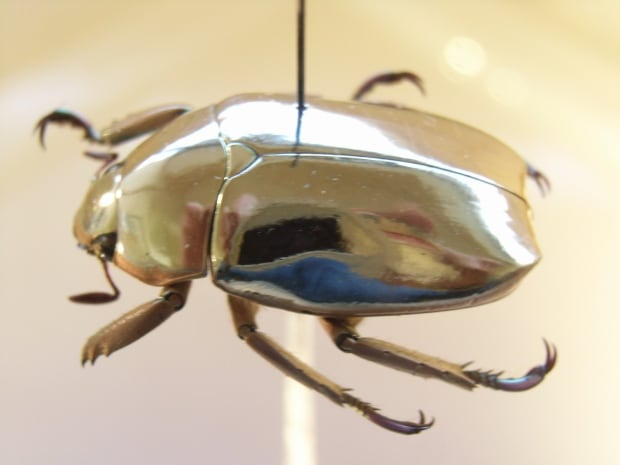Chafer Beetle from Wikimedia, description: Chrysina sp. Ex coll.Felix Stumpe