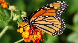 monarch-butterfly-feature