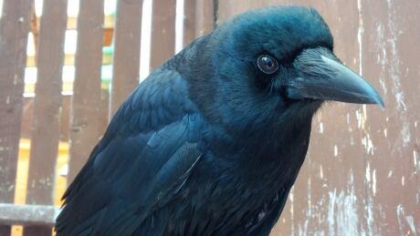 Talking crow surprises Manitoba wildlife centre