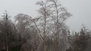 Buckling trees from freezing rain by Linda Kenny