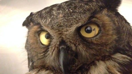 Unwise owl in rehab after run-in with porcupine