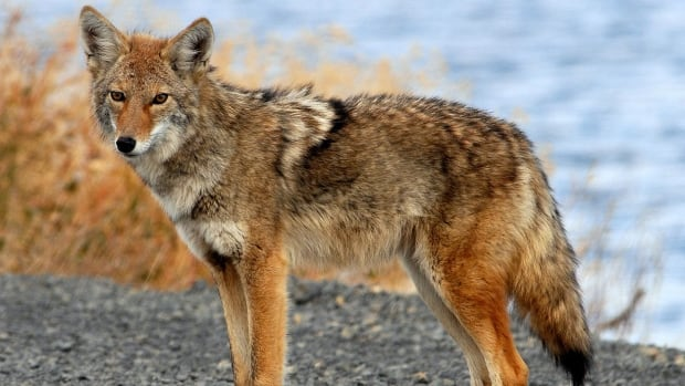 Calgary coyotes are carriers of a tapeworm that can be dangerous if ingested by humans.