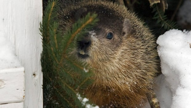 Shubenacadie Sam, Nova Scotia's weather clairvoyant and the first furry weather forecaster on Groundhog Day, also saw his shadow Monday morning, indicating weeks more winter weather.