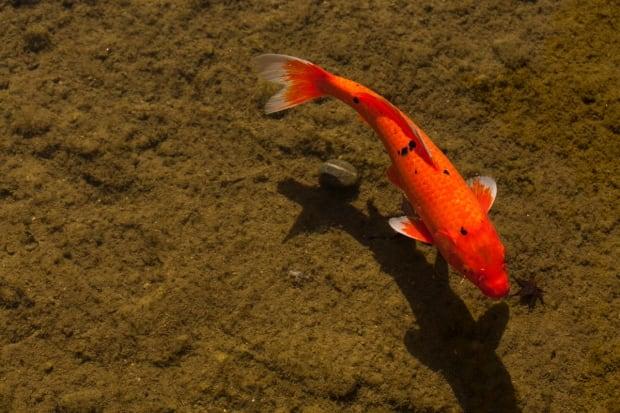 Okotoks battles giant goldfish menace with pesticide for Koi fish habitat