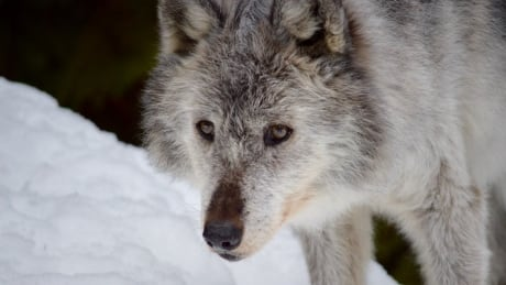 The B.C. government will kill almost 200 grey wolves this winter using sharpshooters in helicopters.