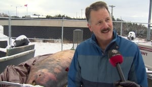 DFO scientist Jack Lawson beached Sowerby's beaked whale