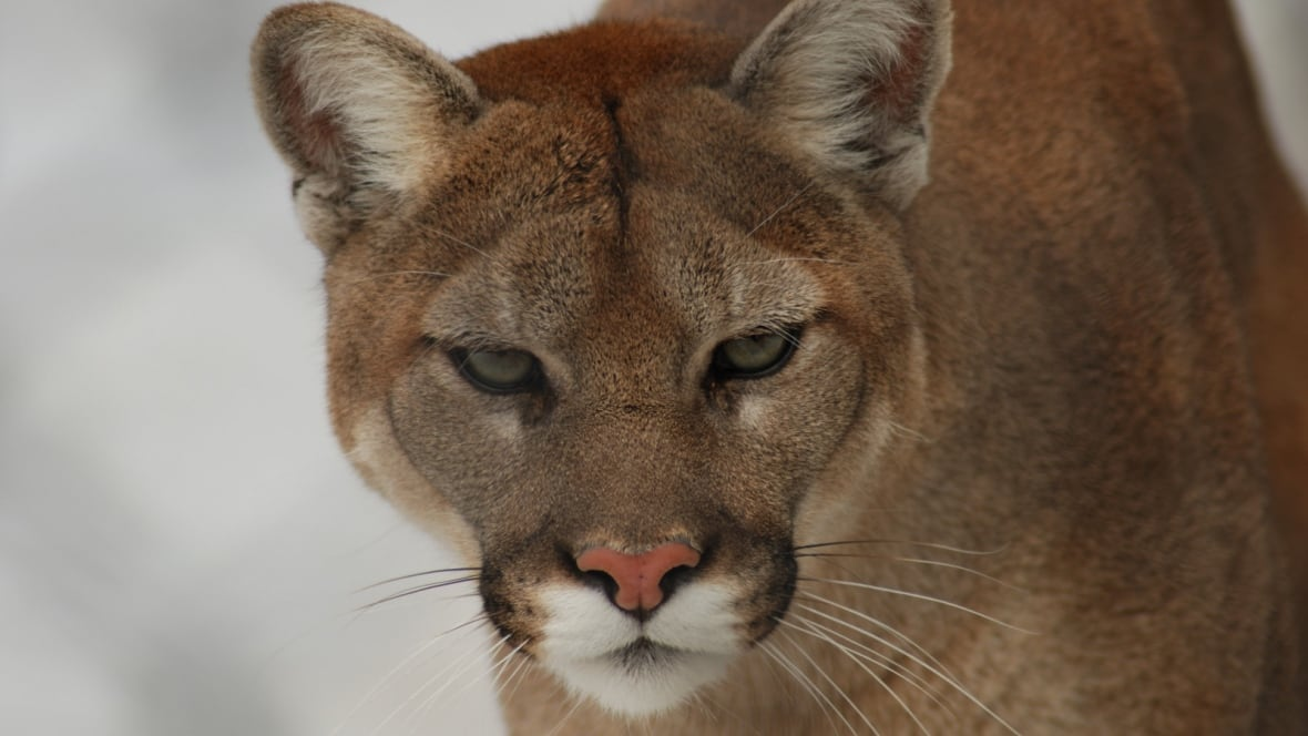 cougar women in british columbia The myths and realities of cougar attacks in the great outdoors skip to main content subscribe log in british columbia like their mother, 6-year-old steven.