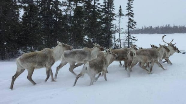 Wildlife officials are investigating the illegal hunting and killing of a number of caribou in the Birch Lake region in southern Labrador.