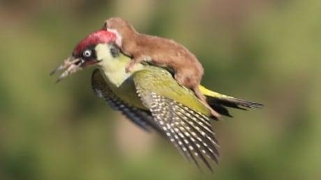 Weasel riding green woodpecker