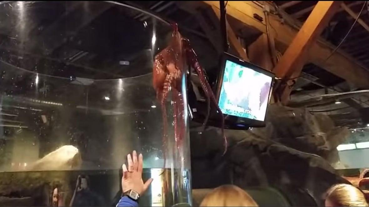 Giant Octopus Tries To Escape Seattle Aquarium Trending