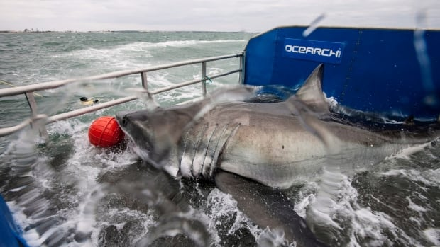 Lydia the Great White shark is shown on a research vessel off the coast off Jacksonville, Fla. in a March 2013 photo. It's been two years since Lydia was tagged off Florida and has been tracked to Newfoundland waters and across the North Atlantic.